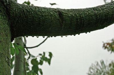 Bottle tree in the rain
