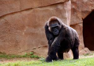 _gorilla