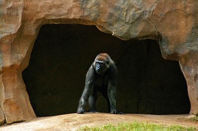 _gorilla_2