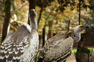 _vultures