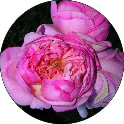 Rose_circle