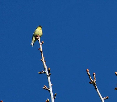 Yellow_finch